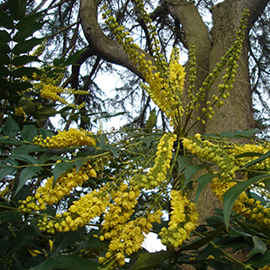 Mahonia x media 'Charity' 2 | Plants of the Month December