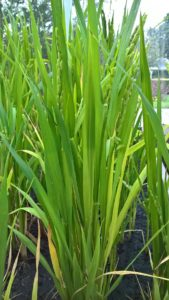 oryza-sativa-rice