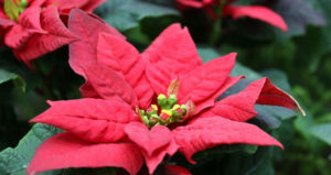 poinsettia December flowers