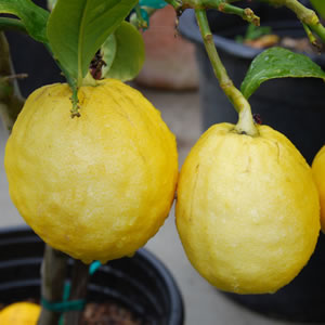 Citrus medica - Citron | Plants of the Month December