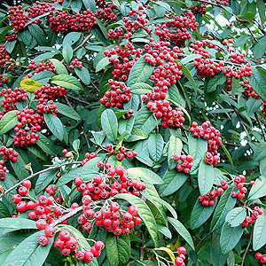 Cotoneaster frigidus | Plants of the Month December