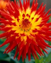 Dahlia 'Kenora Sunset'