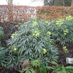 Helleborus fooetidus | Plants of the Month December