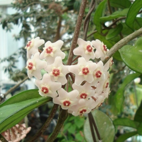 Hoya carnosa (wax flower)