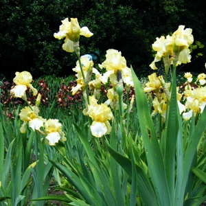 Iris 'Godfrey Owen'