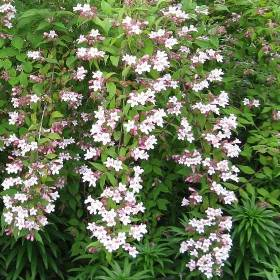 Kolkwitzia amabilis 'Pink Cloud' - Plants of the Month May