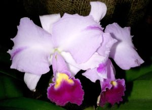 cattleya trianae March Plants of the Month