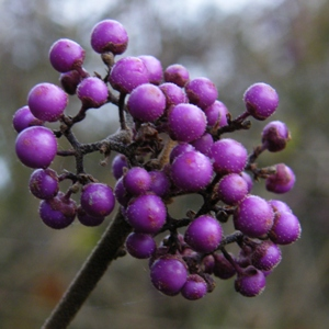 Callicarpa bodinieri var. giraldii 'Profusion' - November Plants of the Month