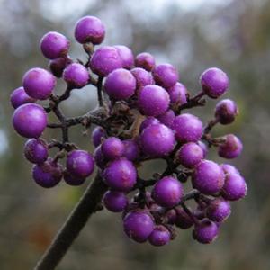 Callicarpa bodinieri var. giraldii 'Profusion' - November Plants of the Month