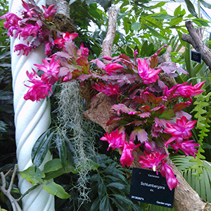 Christmas Cacti Schlumbergera sp. | Plants of the Months - December