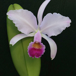 Cattleya trianae 1