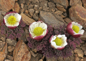 Ranunculus semiverticillatus at Cerro Colorado