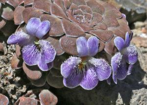 Viola x blaxlandiae at Volcan Copahue