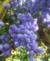 Ceanothus 'Dark Star' April Plants of the Month