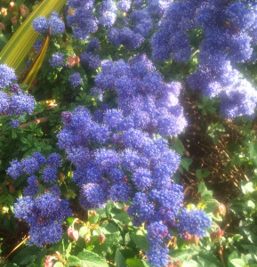 Ceanothus 'Dark Star' April Plants of the Month