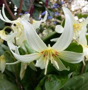 Erythronium californicum
