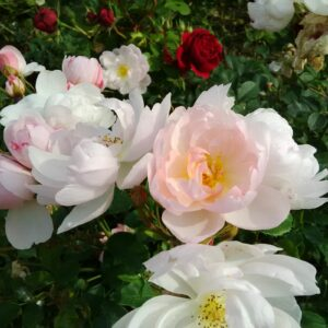 Rosa 'Scarborough Fair'