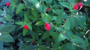 Salvia microphylla 'Rodbaston Red'
