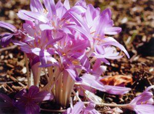 colchicum-autumnale