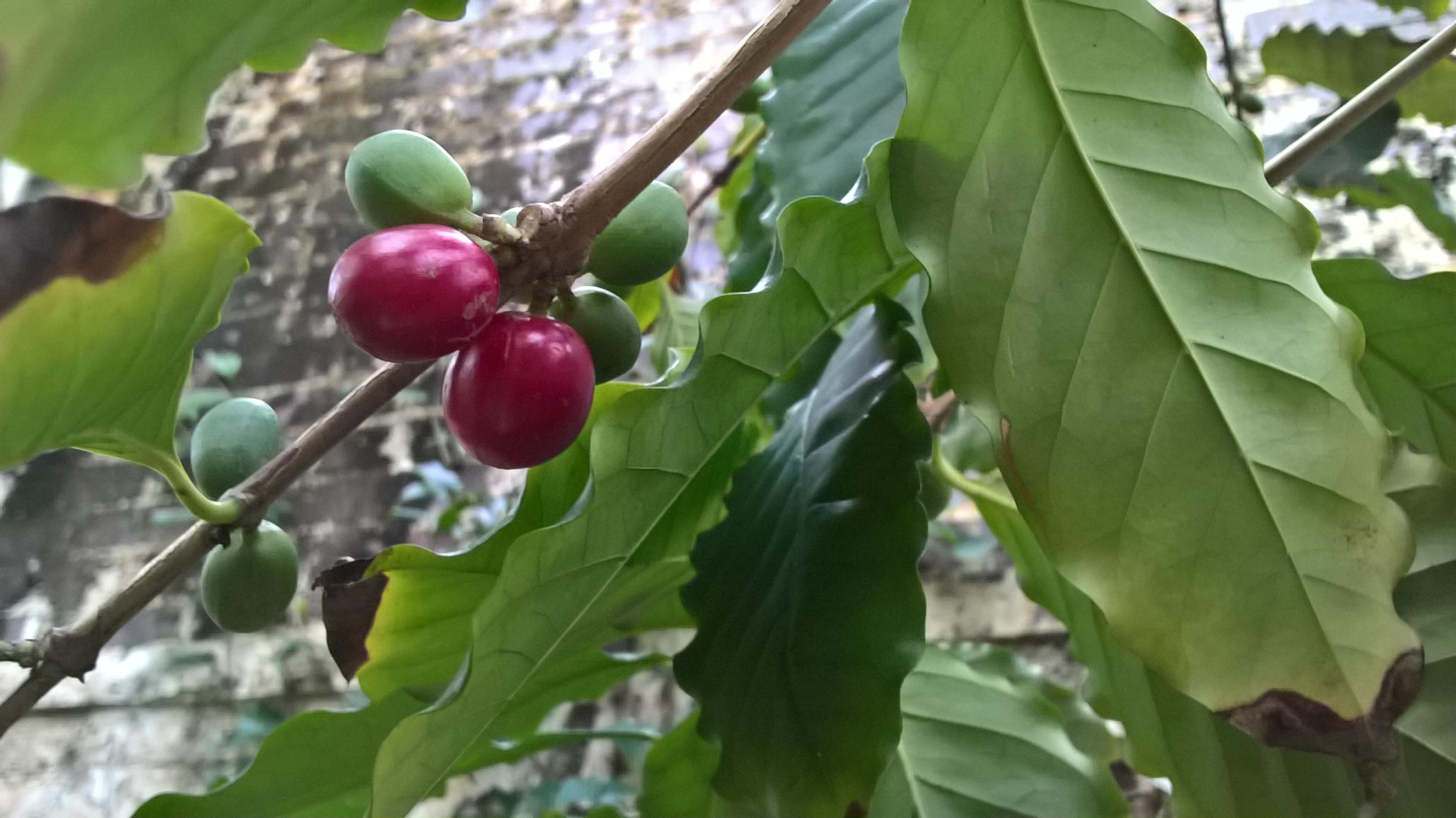 Coffea arabica birmingham botanical gardens for Coffea arabica