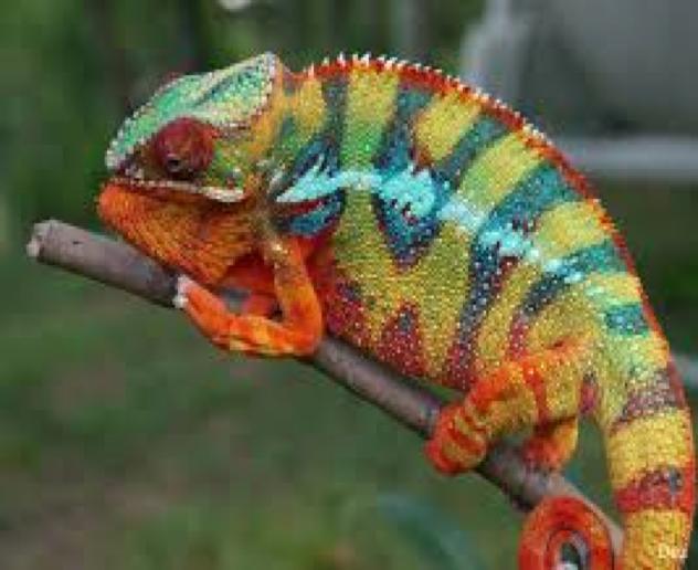 Mojo - Antsiranana Panther Chameleon