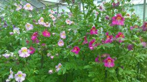 Schizanthus 'Hit Parade'