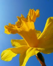 The Daffodil Society Annual Show
