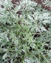 Artemesia absinthium 'Lambrook Silver'