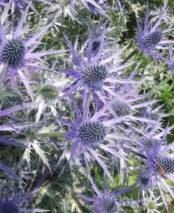 Erynigium x zabelii 'Big Blue'