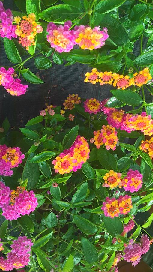 Lantana Camara And Various Cultivars Birmingham Botanical Gardens