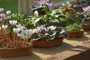 Cyclamen, Alpine House