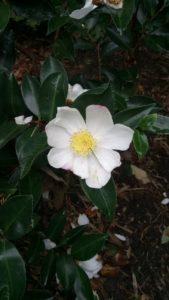Camellia sasanqua 'Narunigata'