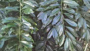Cinnamomum Verum (cinnamon)