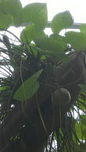 Dioscorea bulbifera (air potato)