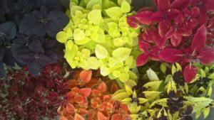 Plectranthus scuttelarioides cultivars