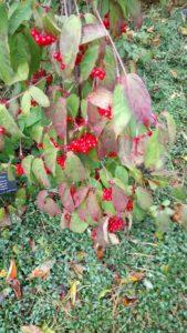 Viburnum seligerum var subcatum