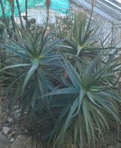 Aloe Arborescens (Candelabra Aloe)