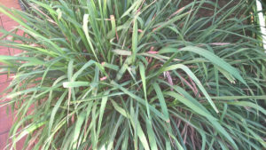 Cymbopogon Citratus (Lemongrass / Citronella grass)