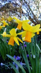Daffodils 2018 - Narcissus 'Jet Fire'