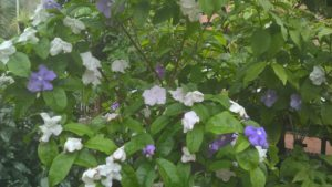 Brunfelsia Pauciflora - Yesterday, today and tomorrow