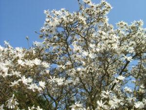 Magnolia Stellata - Star Magnolia