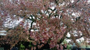Fagus Sylvatica Atropurpurea Group - Purple/Copper Beech