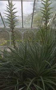 Puya chilensis | Birmingham Botanical Gardens