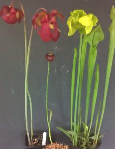 Sarracenia sp. - Pitcher Plant