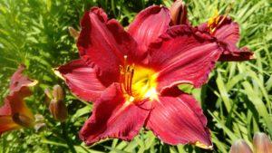 Hemerocallis 'Chicago Ruby'