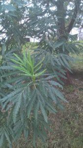 Lyonothamnus floribundus subsp. asplenifolius