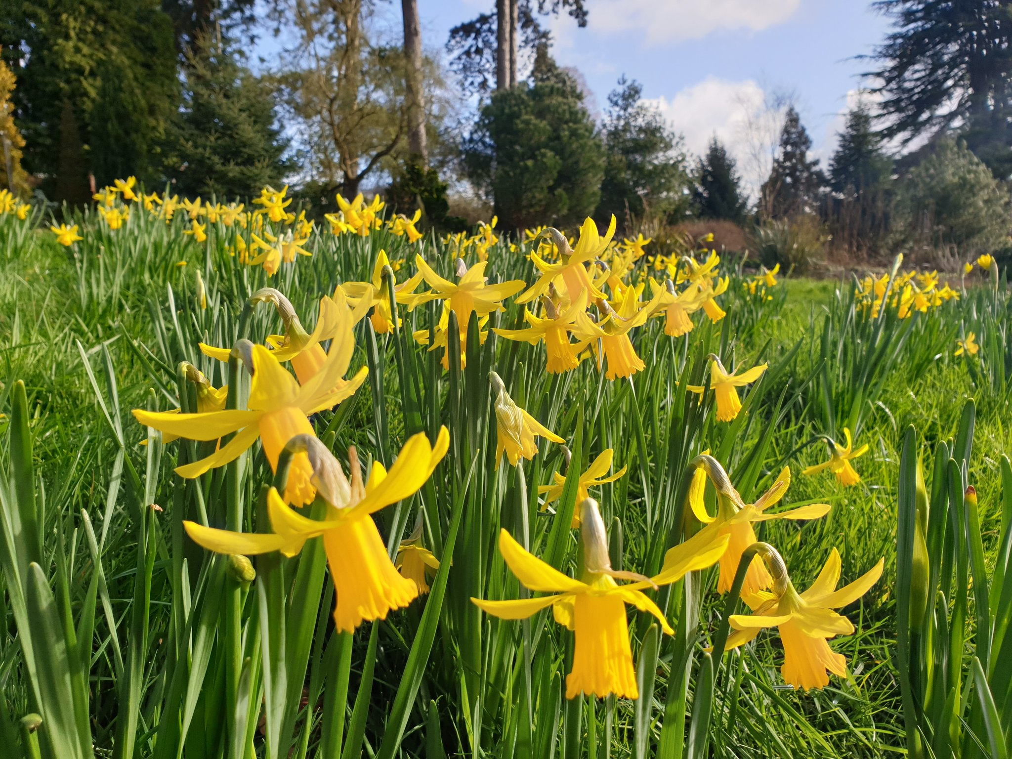 Daffodils on West Lawn